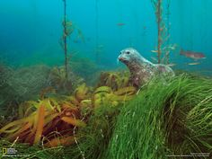 A harbor seal peers from a kelp forest on Cortes Bank, a series of undersea peaks and plateaus off the coast of San Diego. (National Geographic)