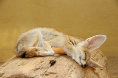 Fennek (by Joachim S. Animals And Pets, Baby Animals, Funny Animals, Cute Animals, Mon Zoo, Animals Beautiful, Beautiful Creatures, Vivarium, Sleeping Animals