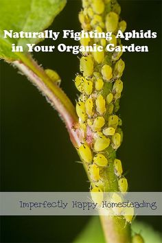 Naturally Controlling Aphids in your organic garden. |ImperfectlyHappy.com: