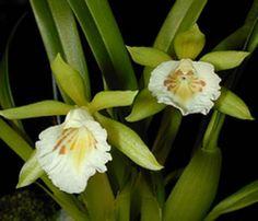 Cischweinfia horichii ~ Orchidee