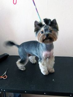 creative grooming ideas - they're yorkies, but the cuts would work for schnauzers too