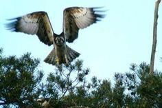 El #águila pescadora anillada por el #FAPAS, localizada en #Francia