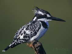 pied kingfisher - Google Search