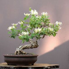 Honeysuckle Bonsai - lots of this raw material in my backyard! Amazing it can be transformed into something so elegant.