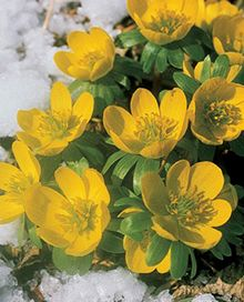 Winter Aconite - another winter or early spring flower Winter aconite, Erianthus, have been blooming since January! Darling corms that reseed and naturalize over time. Zones 4-9.