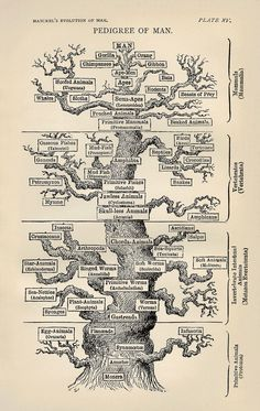 History of evolutionary thought - Wikipedia Theory Of Evolution, Human Evolution, Gibbon Ape, Evolutionary Biology, Ernst Haeckel, Equador, Natural Selection, Tree Print, Vacation Places