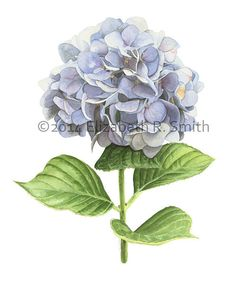 This 8 x 10 giclee reproduction features a crisp image of my original watercolor painting Hydrangea. The watermark will not be on the print.    Rowntree Studio  Elizabeth R. Smith