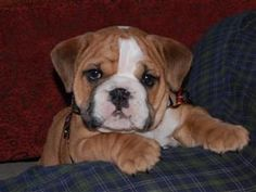 Bosley the Bulldog