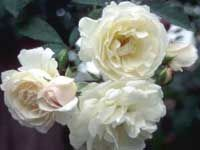 Central Florida Rose Society:  Prosperity, a member of the Hybrid Musk family, largely aloof to the bugs, heat, humidity and fungal diseases that plague most modern climbing roses in our climate, will reliability bloom with only four hours of sun each day