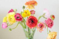 Fabulous K  •  Colorful Ranunculus
