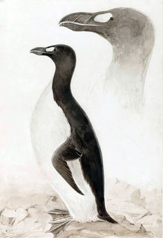 Great Auk original watercolour by Edward Lear for Selby's 'Illustrations of British Ornithology'.