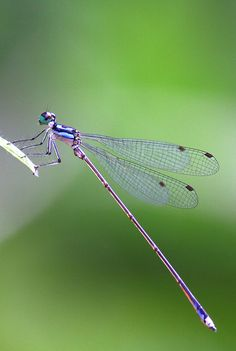 Telephone Sylvan Damselfly by eddy lee**
