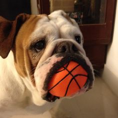 Our 1st Bulldog, Harley, had one of these balls with him at all times!