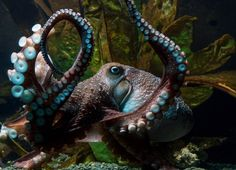Octopus slips out of aquarium tank, crawls across floor, escapes down pipe to ocean - The Washington Post