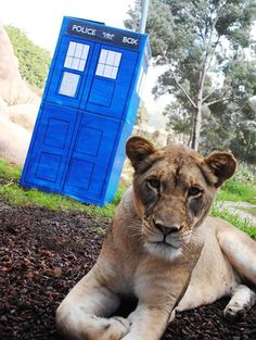 (Pic: Santa Barbara Zoo) This is a cardboard box for the lions to play with that the zookeepers decorated as a Tardis.