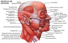 Facial Muscles refer