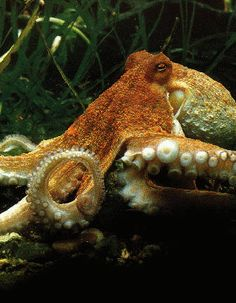 Because octopi are the coolest Send us your Octopus-y submissions! Kraken Octopus, Red Octopus, Octopus Squid, Alien Creatures, Underwater Creatures, Ocean Creatures, Octopus Photography, Animal Photography, Octopus Pictures