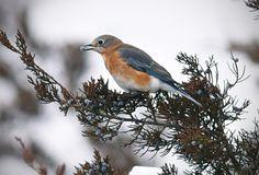 An eastern bluebird eats berries in a juniper tree on Dec. 29