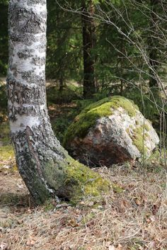 Koivu ja kivi // birch tree and a rock