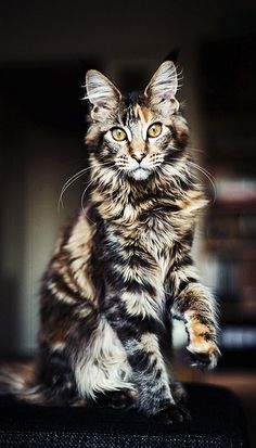 Coon Cat (by Heli Berg on Flickr)  Isn't he/she an awesome looking cat?  @Patty Neiman @Sharon N @Ashley Ramous