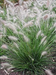 Piglet Fountain Grass - The perfect size fountain grass only reaching 18 inches tall. It makes a fabulous tall edging and can also be grown in patio containers. In med to late summer, full, tawny plumes cascade up and above the finely textured, green foliage. Decidouos.