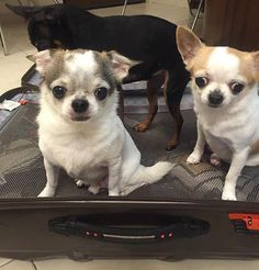 Rony and Bebe: Why are you packing your luggage mommy? You can't leave us at home! Facebook page: @http://ift.tt/1Wsyck8 #pets #dogoftheday #dogs_of_instagram #dogstagram #doglover #dog #pawpack #animals #animalsofinstagram #cutest #cute #cutedogs #cutedog #cutedoggy #cuteanimals #chihuahua #chihuahuas #chihuahualife #chihuahualove #chihuahuaworld #chihuahuaoftheday #paw #pawprint #topanimal #topdogphoto #thechihuahualove #odefix  by ludy9979  http://bit.ly/teacupdogshq