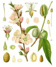 Almond Branch Botanical Reference