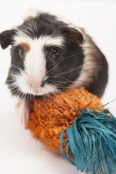 Guinea pig toys on pinterest guinea pigs guinea pig for Homemade guinea pig
