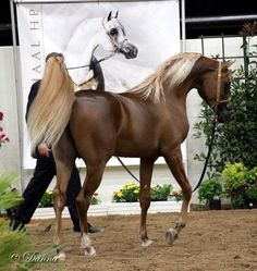 Annual Arabian Breeders World Cup - Day 3 :: Arabian Horses, Stallions, Farms, Arabians, Horses For Sale - Arabian Horse Network Beautiful Arabian Horses, Most Beautiful Horses, Majestic Horse, Majestic Animals, All The Pretty Horses, Animals Beautiful, Palomino, Appaloosa, Cute Horses