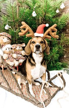 Surprised this beagle sat still that long! Considering mine never even let's me put antlers on her!!!