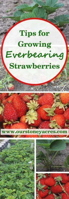 Everbearing Strawberries in your Backyard Garden If you love strawberries, why not grow your own? Everbearing strawberries produce a continuous harvest of sweet medium sized berries from late spring until the first freeze of winter!