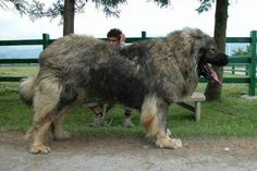 The strongest dog title goes to the Caucasian Shepherd which originated from the North Caucasus regions. The Caucasian Shepherd wins the strongest dogs competition because of its size and it has one if the greatest bite forces of any dogs alive. Massive Dogs, Huge Dogs, Giant Dogs, Massive Dog Breeds, Giant Dog Breeds, Biggest Dog Breeds, Russian Bear Dog, Worlds Largest Dog, Caucasian Shepherd Dog