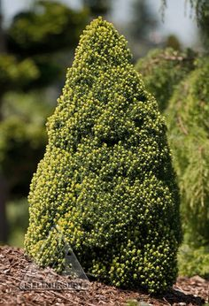 Picea glauca 'Pixie Dust' is one magical dwarf conifer!