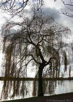 willow tree on logo | Willow tree