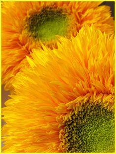 """""""Teddy bear """"  sunflowers"""