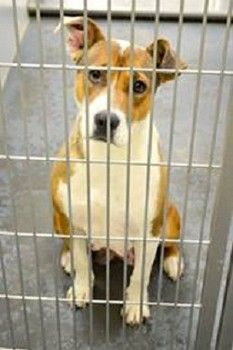 SAD UPDATE- PLEASE HELP & consider writing to the Barrow County Board of Commissioners asking for CHANGE @ Barrow Animal Control.  http://www.examiner.com/article/rest-peace-the-one-who-was-not-featured-has-died?CID=examiner_alerts_article    RIP beautiful girl, she didn't even have a name. On Sat., a shelter volunteer announced that ID#2013-03-038 had been killed, DESPITE 2 rescue agencies offers to take her in. A senior officer was specifically told a Rescue was COMING for her,he ignored…