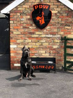 LAX staying with us for 6 weeks training what a pleasure to have him back at ours 13 months old Dogs For Sale Uk, Cane Corso For Sale, 13 Month Old, Training, Work Outs, Excercise, Onderwijs, Race Training, Exercise