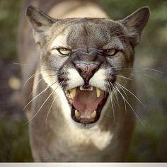 Puma - Cougar - Mountain Lion