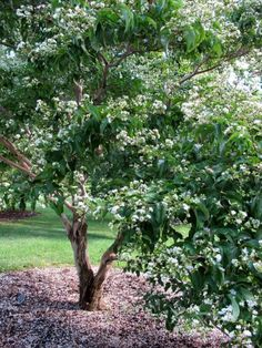 These crape myrtles are cold hardy through zone 5 the for Dwarf ornamental trees for zone 4