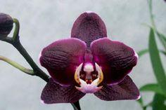 Orquidea morada. El color morado o púrpura tiene significado de Drama,