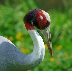 Sarus crane,Grus antigone