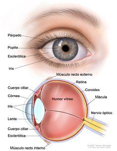 Las partes del ojo es algo que causa notable interés en muchas personas, hay quienes no son capaces de entender cómo este órgano es capaz de permitir que nuestro cerebro vea, así que para llegar a una mayor comprensión en este y futuros artículos hoy vamos a incluir un esquema práctica donde listamos todas y …