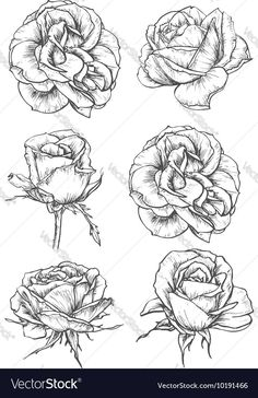 Buy Blooming Rose Flowers And Buds Sketches by VectorTradition on GraphicRiver. Blooming rose sketches of luxurious flower and tight bud with thorny stem and carved leaf. Greeting card, t-shirt pri. Plant Sketches, Flower Sketches, Drawing Sketches, Art Drawings, Flower Drawings, Drawing Flowers, Drawing Art, Drawing Style, Nature Drawing