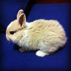 Tiny bunny explores hoomin's bed - July 20, 2012