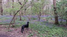 A walk in the woods with Dave think he's more interested in Bluebells than chasing rabbits nowadays. :-) #hillwalking #camping #canoing #paragliding #holiday #travel #uk #england #landrover #landroverdefender #hiking #outdoors #view #love #bushcraft #scotland #nofilter #bluebells #flowers #davethedog #wejock by wejockmcpooplop A walk in the woods with Dave think he's more interested in Bluebells than chasing rabbits nowadays. :-) #hillwalking #camping #canoing #paragliding #holiday #travel…