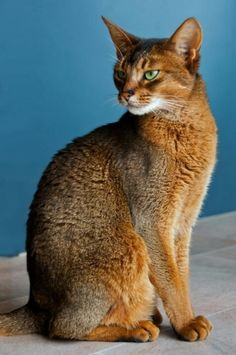 Que arraso Not sure what it says. But that is a Beautiful Abyssinian!!!