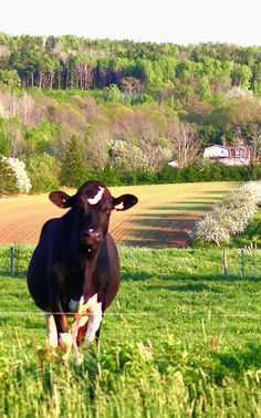 lovely cow and landscape.