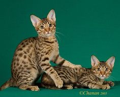 """Ocicat - a wonderful breed with NO genetic wildness in it as the """"Bengal"""" has. If you want wild looking, go for a purebred Ocicat. All the appearance and no wild genes! Ocicat, Rare Cat Breeds, Rare Cats, Beautiful Cat Breeds, Beautiful Cats, Kittens Cutest, Cats And Kittens, Domestic Cat Breeds, Gatos Cool"""