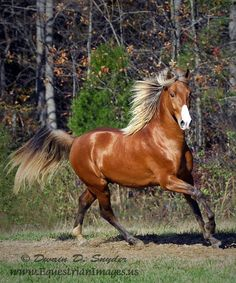Red Cloud, a silver bay Kentucky Mountain horse. (Equestrian Images)