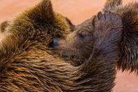 Dos osos amateurs